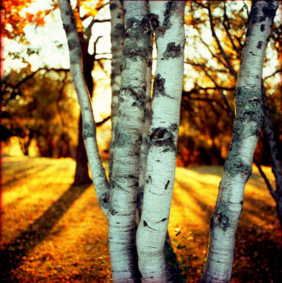 birch-trees-at-sunrise.jpg