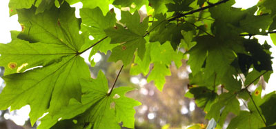 green-leaves.jpg